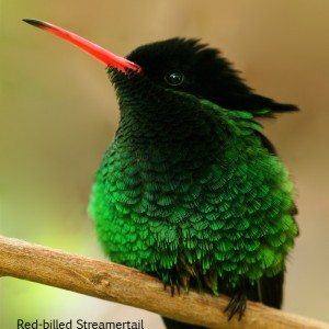 Red-billed Streamertail (close up)