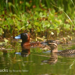 Masked Ducks