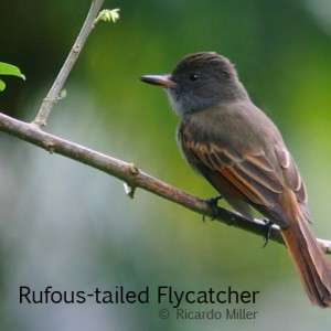 Rufous-tailed Flycatcher 3